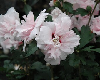 Blushing Bride Rose of Sharon Plant