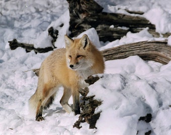 Red Fox in Poconos Snow, Fine Art Photo