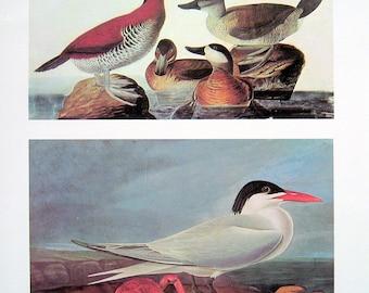 Ruddy Duck, Royal Tern - Vintage Audubon Bird Print - 1966 Vintage Book Page - 13 x 11