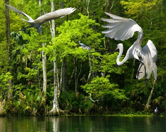 Egret colony by a river in Florida