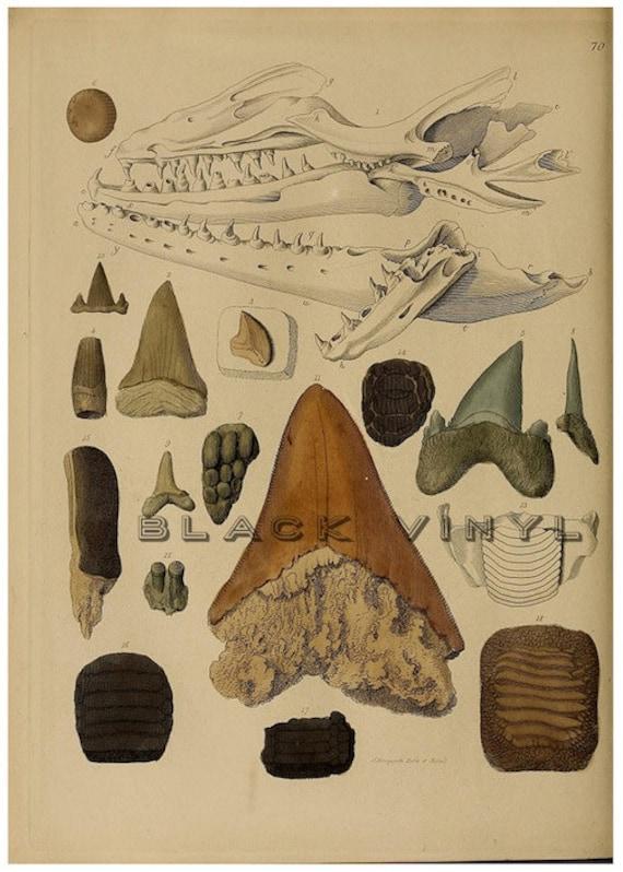 Antique Shark Teeth Fossils Shark Print Science Chart Vintage