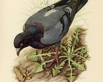 Vintage lithograph of the rock dove or rock pigeon from 1953