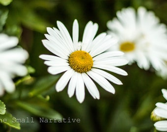 Fine art photography, photography prints, download, printable art, wall art, daisies, floral print