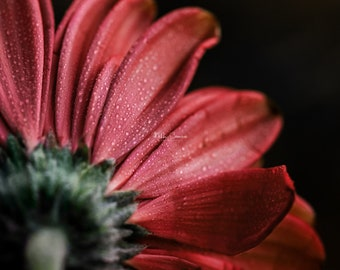 dramatic 8x10 red daisy flower with water drops nature photo