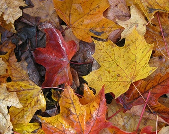 Autumn Leaves Photograph3 - Nature Photography - Nature Images - Background - Instant Download