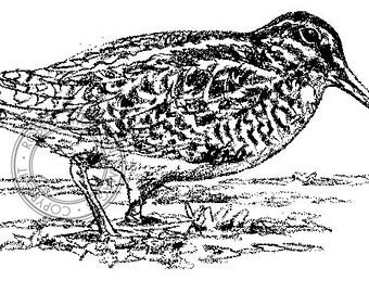 Latham's Snipe pencil drawing - bird art, wildlife art - nature print of original artwork