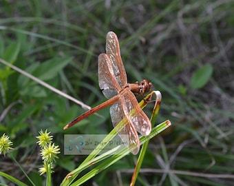 Male Golden Winged Skimmer Dragonfly Photography, Dragonfly Photo, Dragonfly Picture