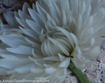 Dreamy White Dahlia on Lace Floral Wall Art.