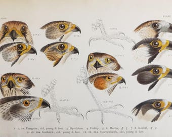 1901 Scarce Antique Chromolithograph of Drawings by  Hermann Schlegel Falcons; Hawks; Kestrel; Hobby; Merlin