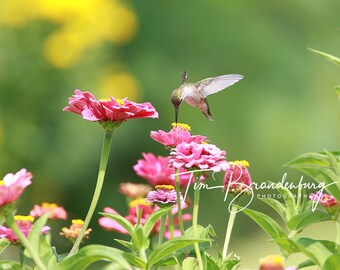 16 X 24 Metal Print of Hummingbird and Zinnia Flowers