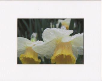 "Wet Daffodil 5""x7"" Photograph Print in White 8""x10"" Mat"