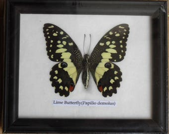 Real BUTTERFLY Collection Taxidermy in Frame / BTF01C