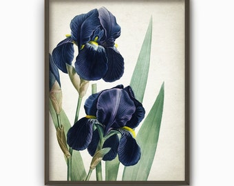Blue Iris Antique Botanical Flowers Art Print - Vintage Botanical Home Decor - Antique Book Plate Illustration - Flower Picture (B180)