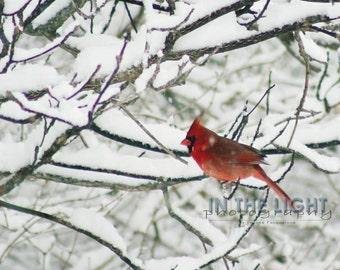 Cardinal in Snow #7 - fine art photography