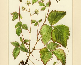 Vintage lithograph of stone bramble from 1958