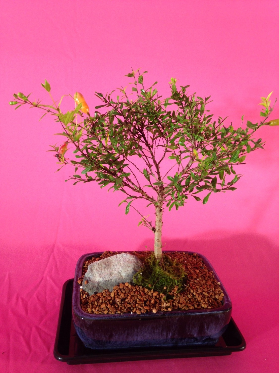 Indoor Bonsai Dwarf Pomegranate 10 years old broom style.