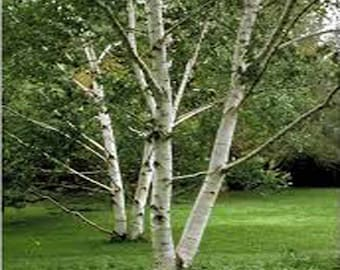 100 Paper Birch Tree Seeds, Betula papyrifera