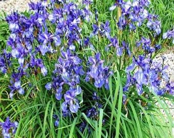 Irish Moss- Sagina Subulata- 100 Seeds