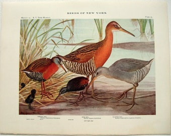 Virginia Rail, King Rail & Clapper Rail - Antique Print by Louis Agassiz Fuertes - From the 1910 Edition of The Birds of New York