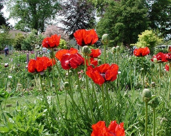 100+    POPPY GIGANTIC  RED ,  Papaver Orientale  / 3 Feet Tall / Deer Resistant  Flower Seeds