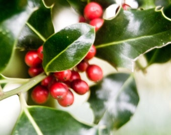 Holly Christmas Decor - Green and Red Room Decor Holiday Decoration - photographic art by Sarah McTernen