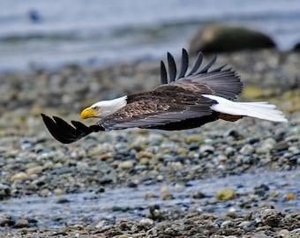 Bald Eagle Image, Raptor Photo's, Nature Photography, Bird Images