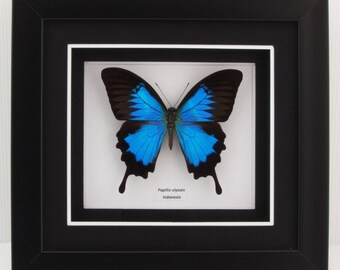 Papilio ulysses Blue Mountain Swallowtail Taxidermy Butterfly in Matted Shadow Box Frame