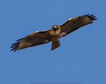 Red-tailed Hawk Stare Down - 12x18 16x24 20x30 24x36 Metal Print - Nature Photography - Modern Art Wall Art - Bird in Flight -