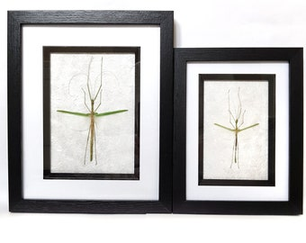 Framed real green stick insects display bugs wings specimen camouflage black frame Taxidermy Oddities UK