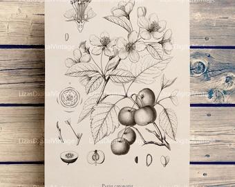 Digital download art, Home wall decor, Botanical wall art, Clip art vintage, Fruit tree print, Large digital print, Tree wall art JPG PNG