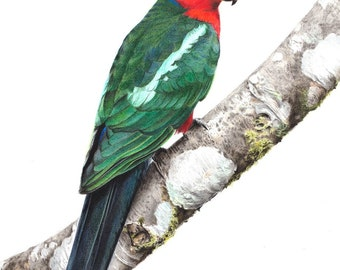 "5x7"" King Parrot - Australia Bird Art Print - Australian Native Bird Print"