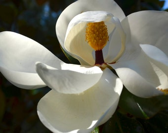 Nature Photography- White Southern Magnolia- Travel, Flower, Floral, Fine Art Photography