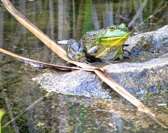 American Frog, Pocono Mountains, Pennsylvania, USA