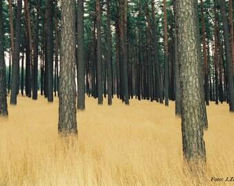 Landscape Photo, Fine Art Photography, Pine Forest, German Landscape, Download,