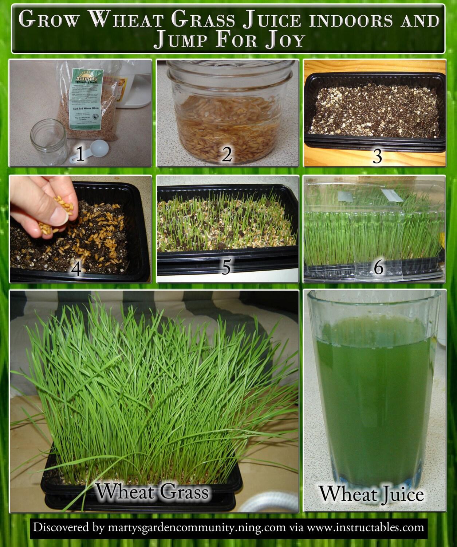 Organic hard red wheat seedgrow wheatgrass flourgrainbread 295 workwithnaturefo