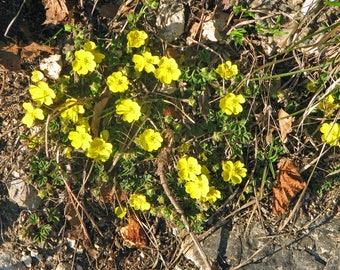 10 Potentilla pusilla Seeds, Alpine Plant Seeds