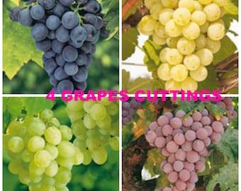 90%OFF, 4 fresh grape cuttings, Grapes cutting, Concord Grapes