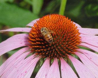 Honey Bee on Purple Cone Flower  Digital Download