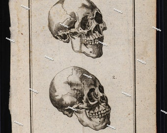 Human Anatomy human skulls Engraving Buffon original art wall art decorative art  1792 fold out Black and white illustration