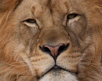 Nature Art, Lion, Fine Art Photography, Nature Photography