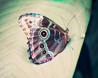 Blue Morpho Butterfly - 8x10 photograph - fine art print - nature - nursery art - vintage tropical butterfly