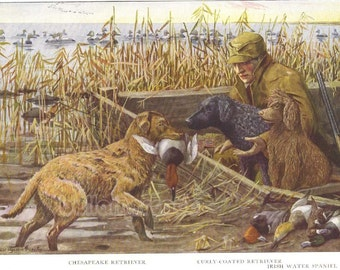 1919 Print Chesapeake Retriever Curly Coated Retriever and Irish Water Spaniel by Louis Agassiz Fuertes