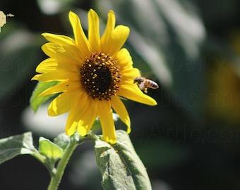 Bee Flying To Bright Lemon Yellow Wild Sunflower in High California Sun Photograph