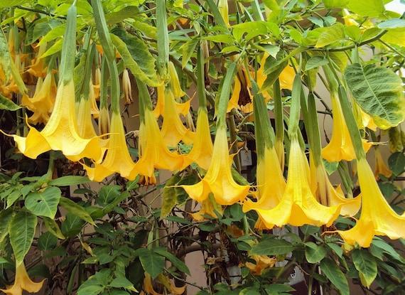 Angel trumpet yellow brugmansia seeds huge fragrant like this item mightylinksfo