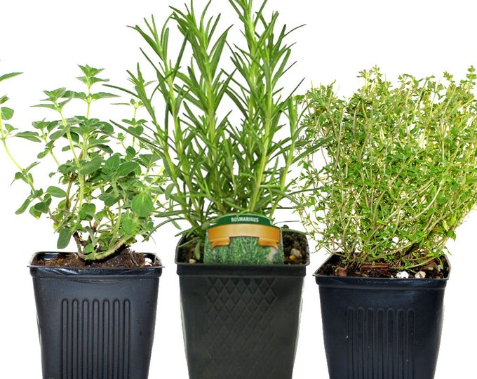 Rosemary Oregano Thyme Set of 3 Plants Herb Collection Gourmet Assortment of Organic Herbs  - Great Gift Herb Kit Non-GMO