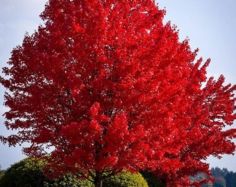 American Red Maple 4-5 Foot
