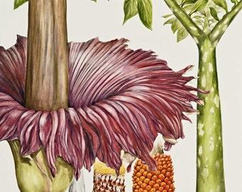 Titan Arum Botanical Print, from original botanical illustration, Amorphophallus titanum, by Australian artist Julie McEnerny.