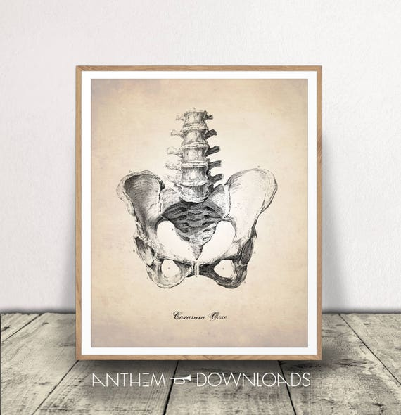 Hueso pélvico imprimir anatomía humana arte humano Pelvis