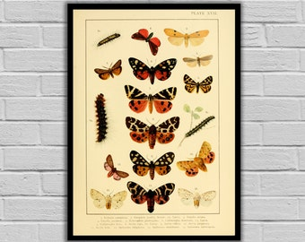 Vintage Lithograph Print - Antique Moth & Caterpillars Print/Canvas - Lepidoptera Decor - Butterfly and Moth Wall Art - 243
