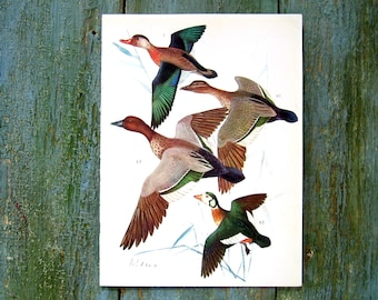Bird Print - Ducks and Geese - 1968 Vintage Print - from Encyclopedia